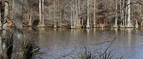 Mallards  Flooded Timber