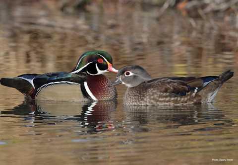 types of ducks geese