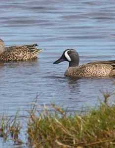 Blue winged teal also types of ducks  geese duck identification rh