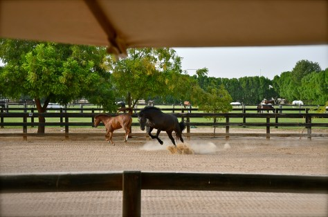 Horses running and playing at Desert Palm Per Aquum