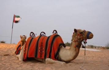 Camel Ride Dubai Desert Safari