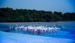 Ras Al Khor, flamingo rezervátum Dubaiban