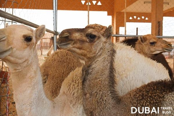 camel market in al ain city