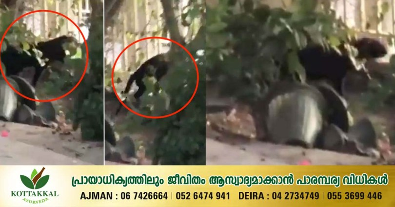 What is seen in the Dubai Springs area is not wild; Police concluded it was a pet_DubaiVartha_UAE_MalayalamNews