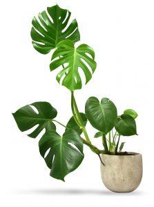 Originele kamerplanten en de bijzondere keuzes  Dubbonl