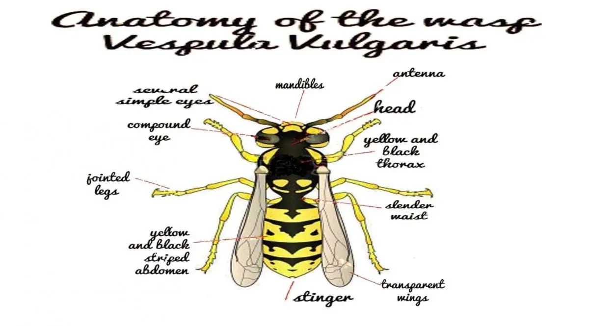 "Wasp ""Vespula Vilgaris"" Anatomy graphic"