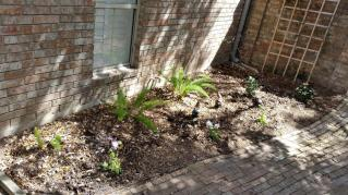 Planted columbines in various colors, some mona lavender, and left the random ferns. John also transplanted an angel trumpet (maybe?)