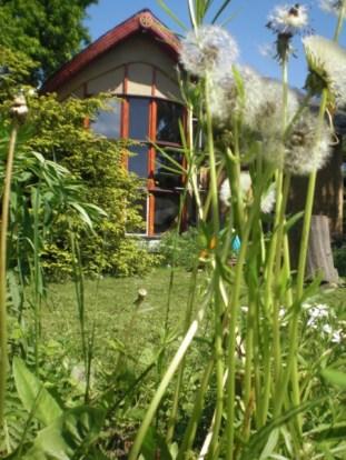 W wiosennej zieleni mniszka