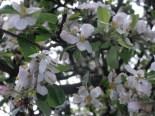 ... w kwitnącym sadzie - Jabłonna :)