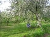 Kwitnące jabłonie i hamak :)