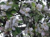 Rozkwiecone jabłonie w Jabłonnie
