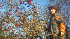 Zbieranie owoców to praca i gimnastyka