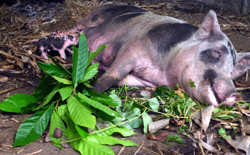 4th Parity for Auntie Brownie and Foster Care Piglets