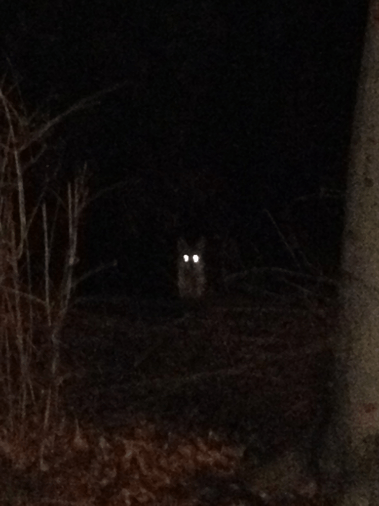 wolf in woods at night  Duck Duck Gray Duck