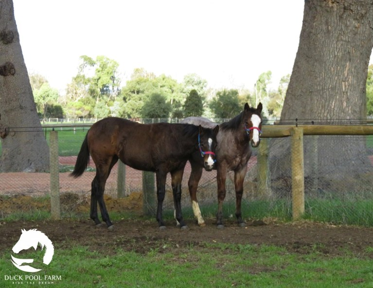 """Cute photo of two yearlings out of Amazen Grace.""""Gracie"""" Sheza Little Lazy, sired by Lazy Loper with""""Reacher"""" Reach for the Roan, sired by RL Best of Sudden. Gracie is owned by Louise Blake and Reacher is owned by Rosemary Webb."""