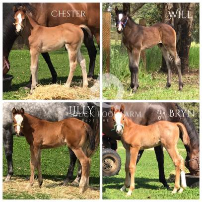 Our first four superstars. Chester. The Lopin Machine x YLS Sultary. Bay colt Will. Winnies Willy x Sheza Little Lazy. Dark brown colt. Owner: Louise Blake Lilly. VS Code Red x YLS Sultary. Bay filly Bryn. VS Code Red x Sheza Little Lazy. Red roan colt. A great start to foaling season. All babies are embryo transfer with imported frozen semen. Many thanks to Dr Rob Davies and the Baldivis Equine team at Baldivis Vet Hospital. A fantastic result.
