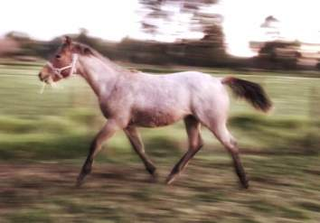 """""""Harris"""" yearling. VS Flatline x Dancin. In a rush to see what's going on over the fence."""