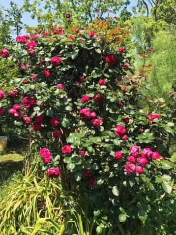 Loving the Spring rose blooms