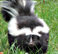 How to remove skunk odor from your dog #dog #skunk