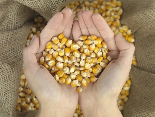 Whole kernel corn feed for animals