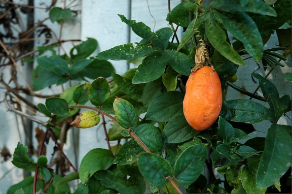 CP-DSC_1372-fruit défendu