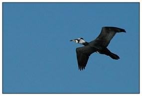 CP-DSC_5329-vol cormoran