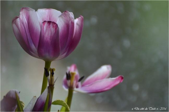 BLOG-DSC_39701-tulipes fanées