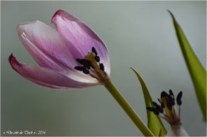 BLOG-DSC_39707-tulipes fanées