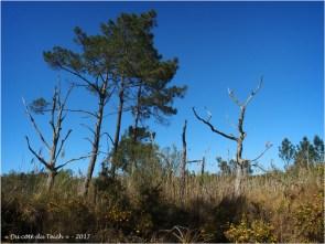 BLOG-P4128719-pins prés salés Arès et Lège