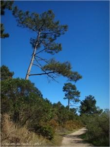 BLOG-P4128730-pins sentier prés salés Arès