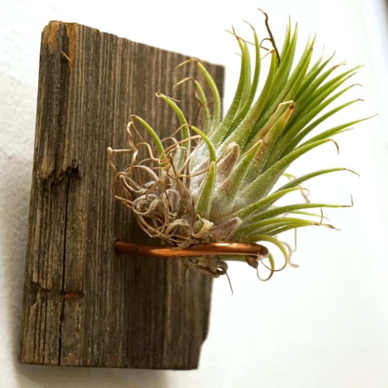 How to Display an Air Plant on Reclaimed Barn Wood