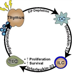 Conceptual framework of endogenous thymic regeneration