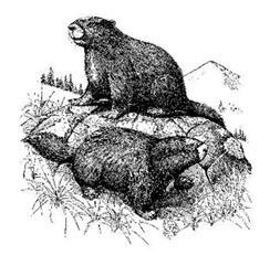 Vancouver-Island-Marmot