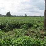 Soybean Field in Queenstown, Maryland