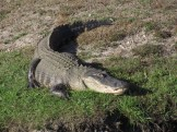 Alligator on the Banks of the Canal along Tamiami Trail