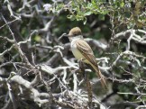 Ash-Throated Fly Catcher Outside Idyllwild