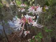 Azaleas on the Suwannee River