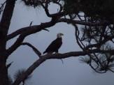 Bald Eagle on SR 520