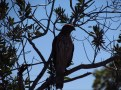 Broad Winger Hawk on Tamiami Trail