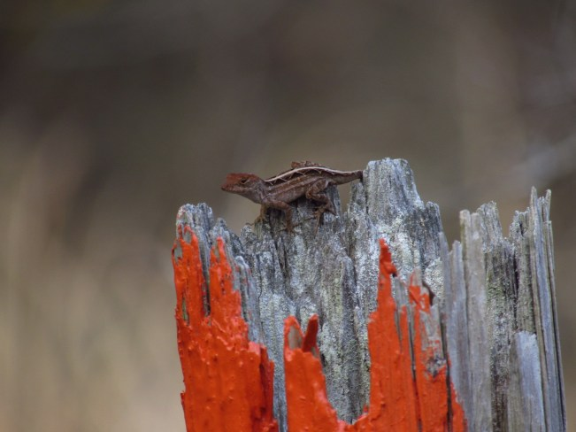 Brown Anole on a Blazed Fence Post in the Three Lakes Wilderness Management Area