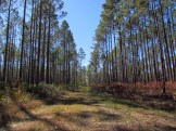 Burn Area in the Osceola National Forest