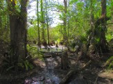 Cypress Knees and Trees in Big Cypress National Preserve