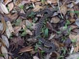 Dusky Pigmy Rattlesnake in the Chuluota Wilderness Area