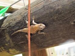 Fence Lizard on the Suwannee River