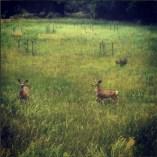 Mule Deer and a Turkey in Fruita, Utah