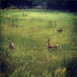 Mule Deer and a Turkey in Fruita, Utah
