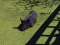 Giant Swamp Hog in the Miccosukee Village