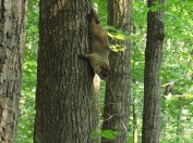 Ground Hog in a Tree in Pennsylvania