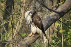 Red-Tailed Hawk with Bloody Talons on the Tri-County-Triangle-Trail