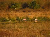 Hungry Spoonbills along the Kissimmee River at Sunset